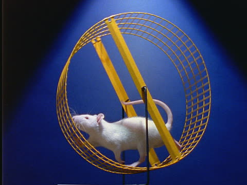 Rat on a wheel